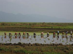 Villagers planting rice